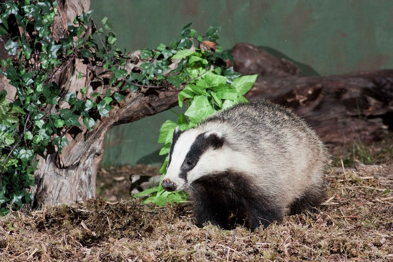 Wild Badger At Cannich In Scotland | © Ellis Lawrence/Flickr