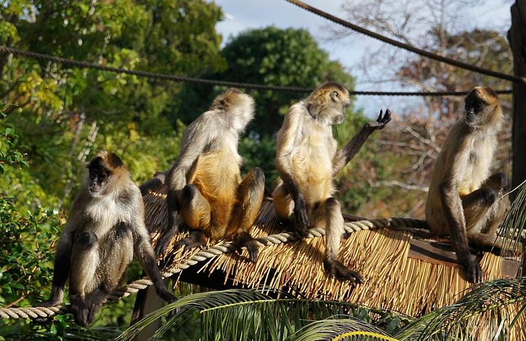 Spider Monkey   © Bernard Spragg. NZ/Flickr