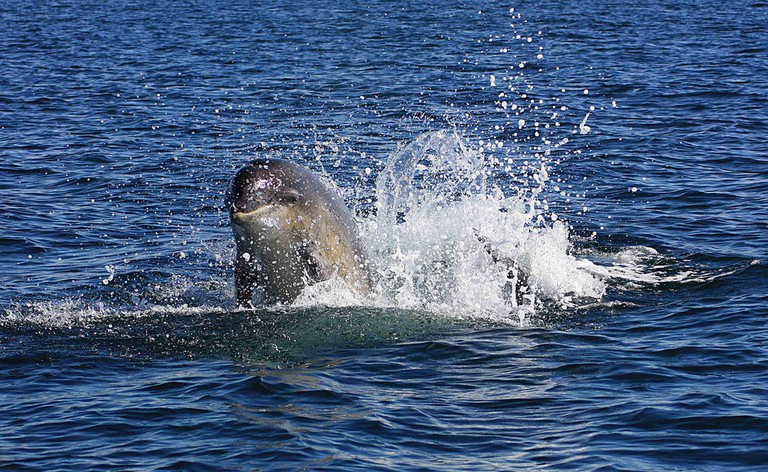 Bottlenose Dolphin Breaching Off Moray Firth