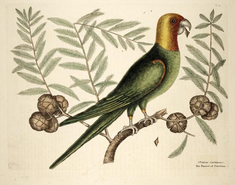 Artist's impression of the Carolina parakeet