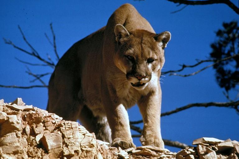 Cougar | Public Domain/Pixabay