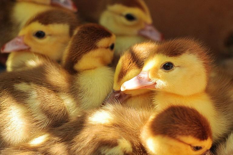 Ducklings │© Unsplash