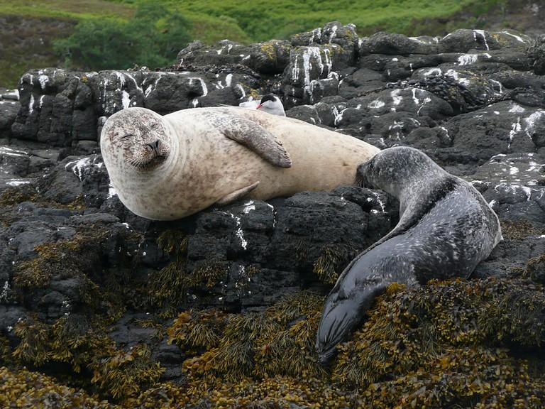 Grey Seal On Isle Of Skye | © WikiCommons