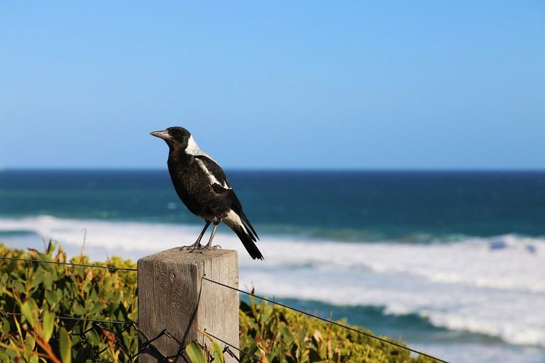 Magpie | © Pixabay