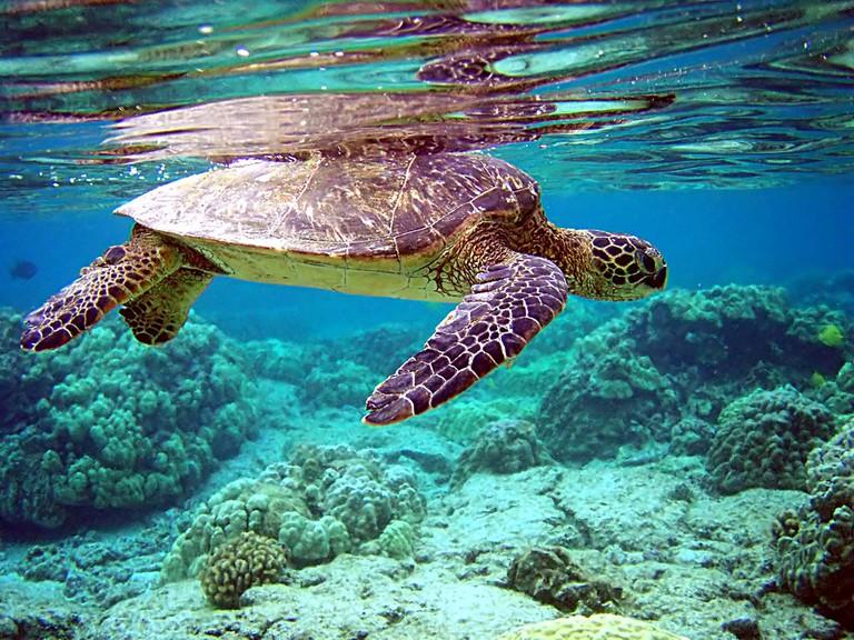 Sea turtle |© Brocken Inaglory/WikiCommons