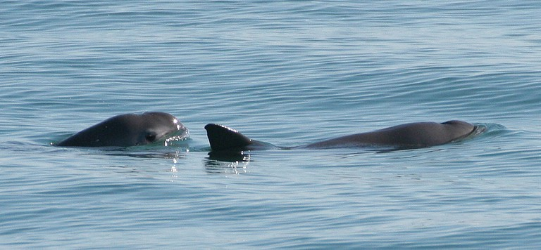 Vaquita porpoise   © WikiCommons
