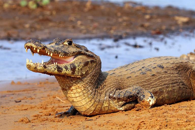 The caiman |© Charlesjsharp/WikiCommons