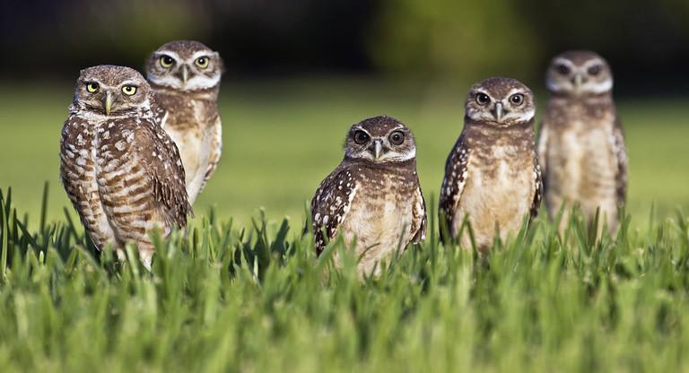Burrowing owls |© travelwayoflife/WikiCommons