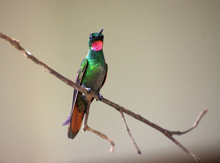 Brazilian ruby |© Dario Sanches/WikiCommons