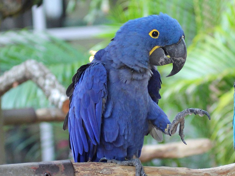 The Hyacinth Macaw |© DickDaniels/WikiCommons