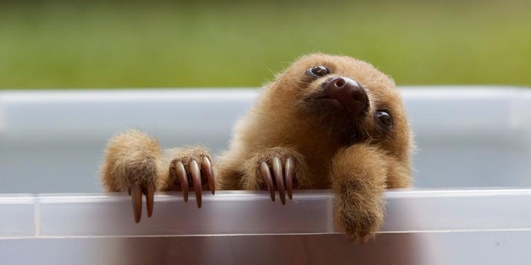 Baby two-toed sloth at the Jaguar Rescue Center in Puerto Viejo de Talamanca/Matt MacGillivray/Flickr