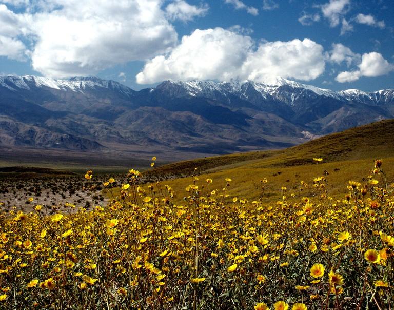 Desert Gold (Gerea canescens) | © Chuck Abbe/Flickr