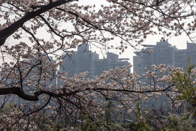 Cherry Blossom in Yeouido Park