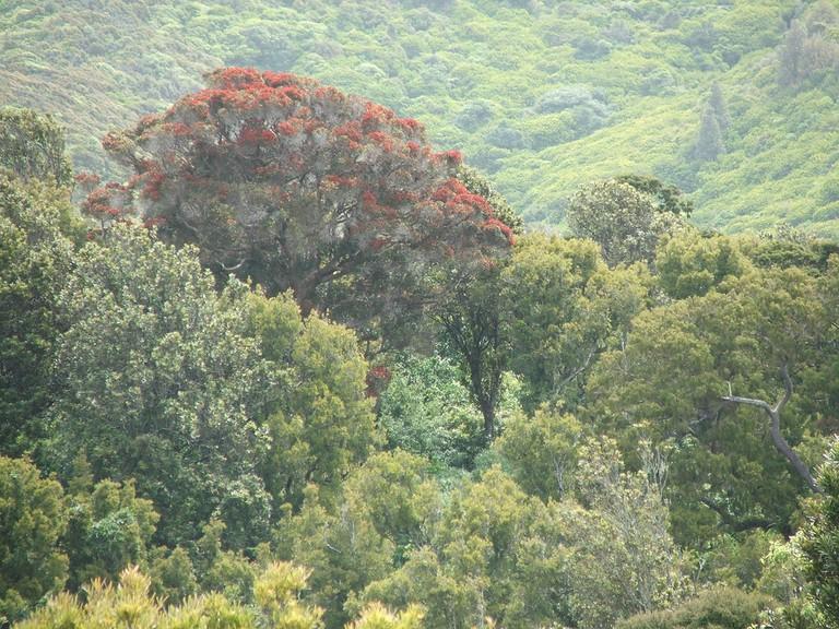 Native Rata tree, Otari-Wilton's Bush