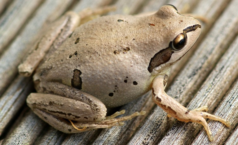 Whistling Tree Frog | © Ian Sutton/Flickr