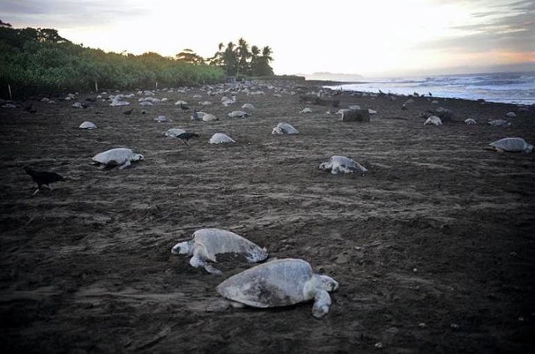 Sea turtles nesting at Playa Ostional