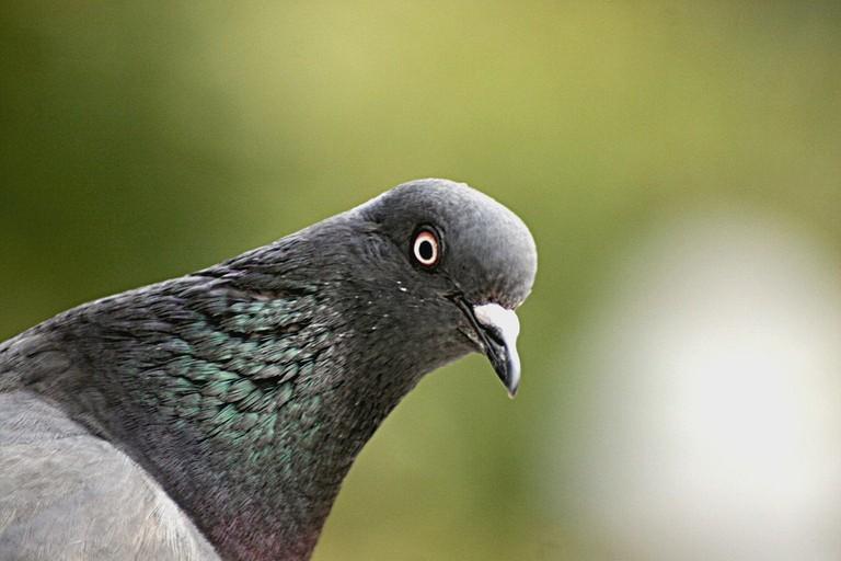 A close-up of a Parisian pigeon │© cedric Martinez / Flickr