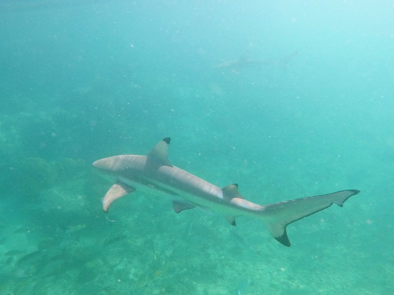 Blacktip sharks at the Aldabra Atoll