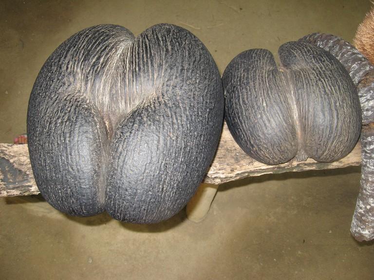 Coco de Mer - the forbidden fruit.