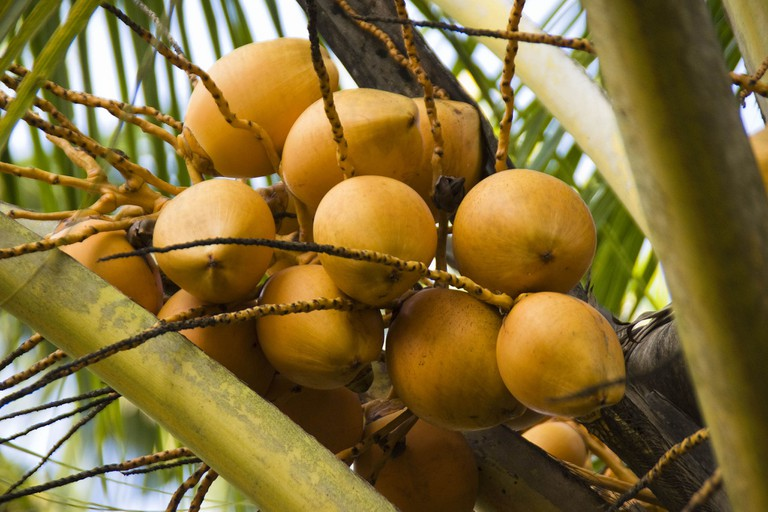 King Coconut known locally as Coco Rouge.