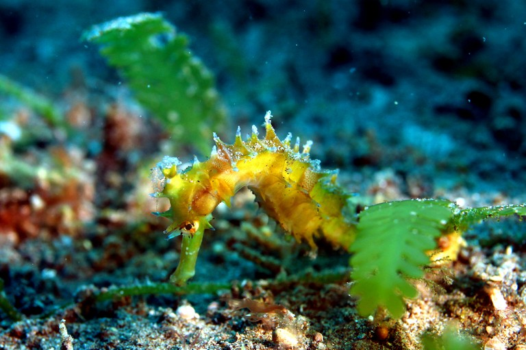 Seahorse at Kabayo Point