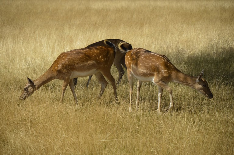 Deer on Richmond Park