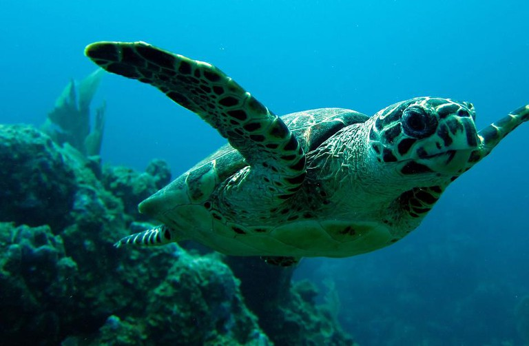 Dive with the critically endangered hawksbill turtle