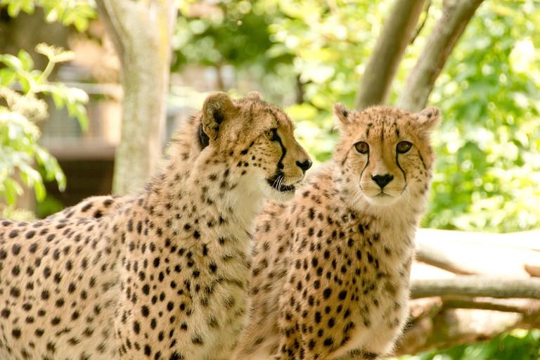 Cheetahs in Park