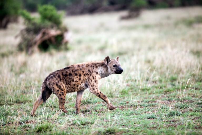 A hyena | ©waddell-jb / Flickr