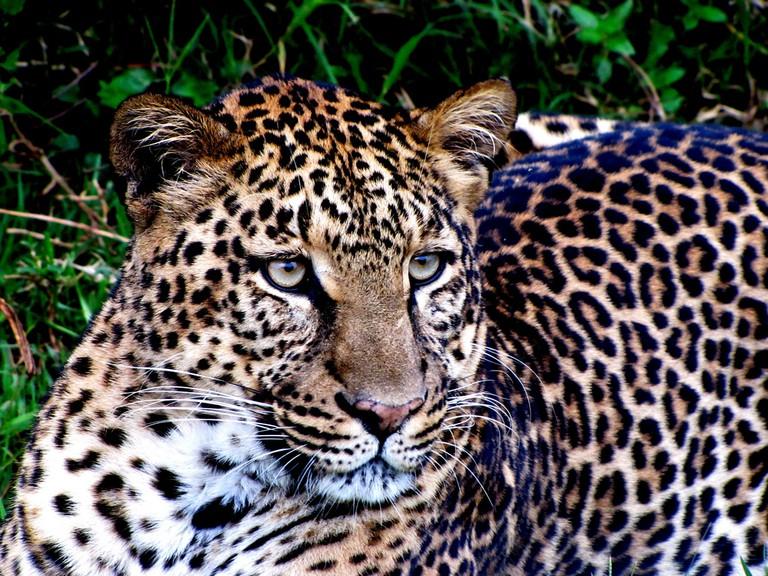 Leopard up close at Aberdare National Park | © Balathasan Sayanthan/ Flickr