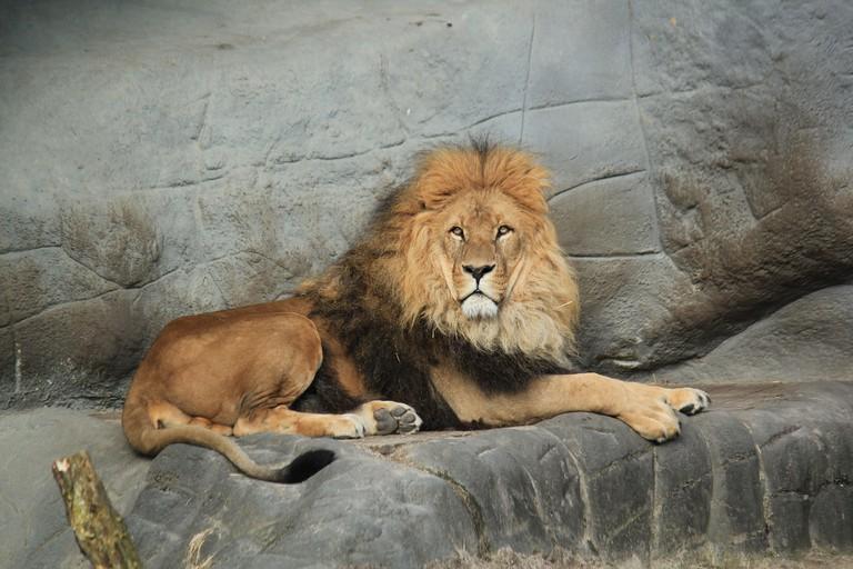 Lion at the Tierpark Hagenbeck