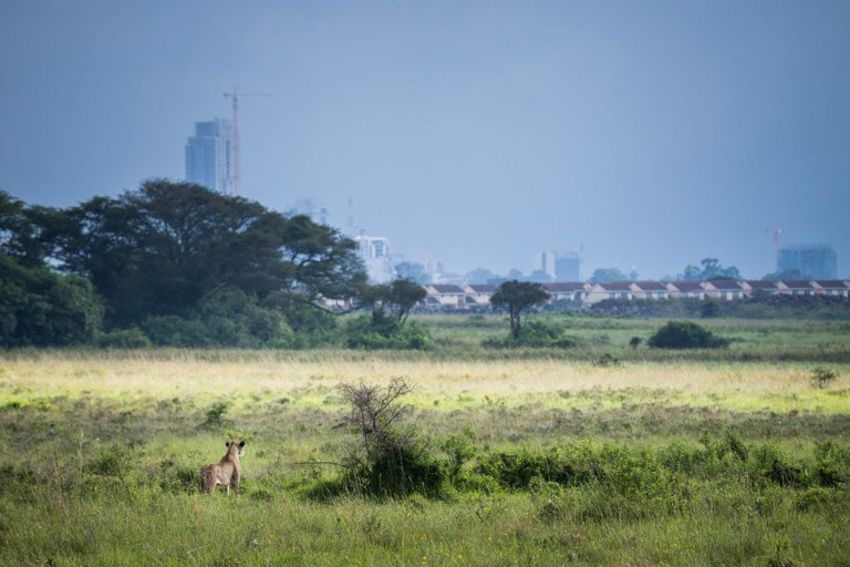 Lioness staking out her environment with a view of the city in the horizon | © Make It Kenya / Stuart Price/ Flickr