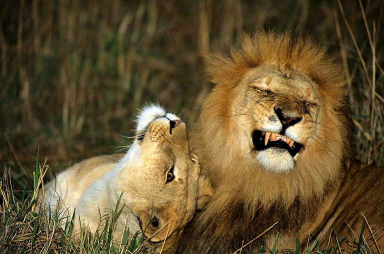 A playful lion and a lioness | © vricci63 / Flickr