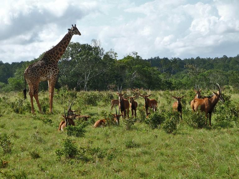 Giraffe and sable antelopes at Shimba hills | © Martin from Tyrol/ Flickr