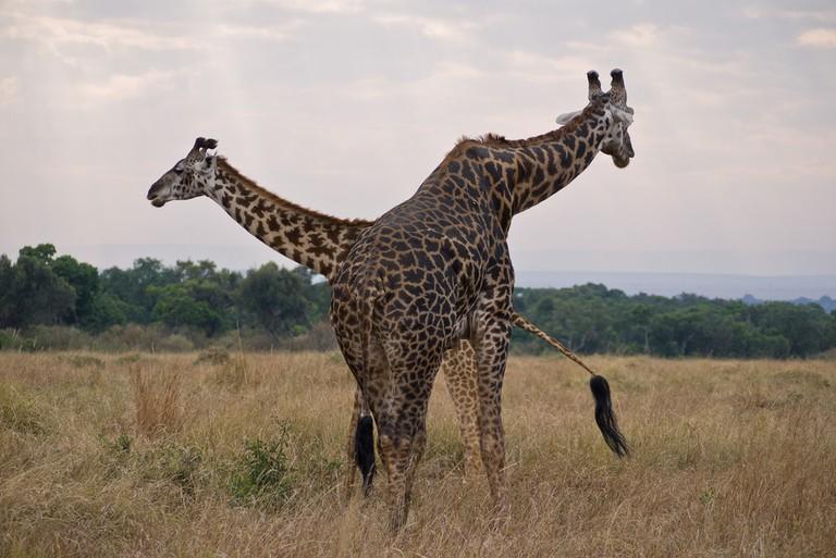 Masai giraffes in the Kenyan plains | © daveblair48 / Flickr