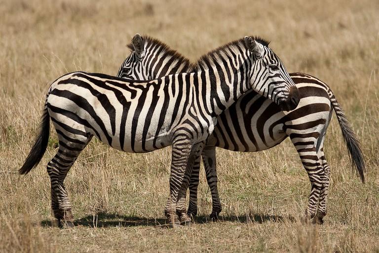 Plains zebras| © 40655905@N06 / Flickr