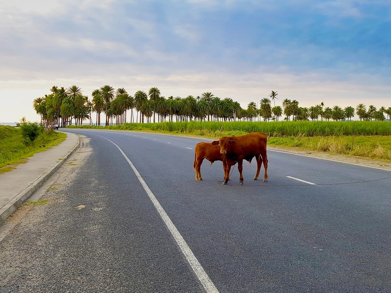 Cows on the road in Fiji