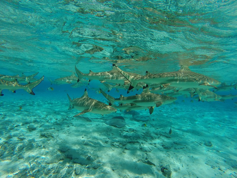 Underwater scene: sharks