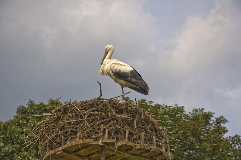 One of many storks at Het Zwin | © Paul Hermans / Wikimedia Commons