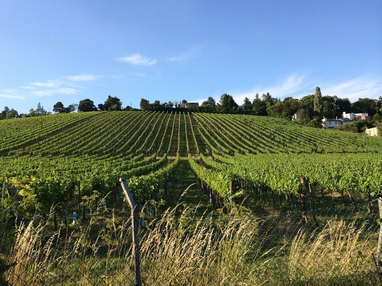 Vineyards in Vienna's hills