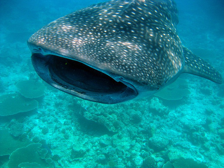 Get up close and personal with a whale shark