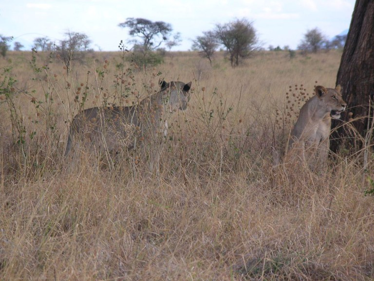 Young lions at Meru National Park | Courtesy of Kenya Wildlife Services