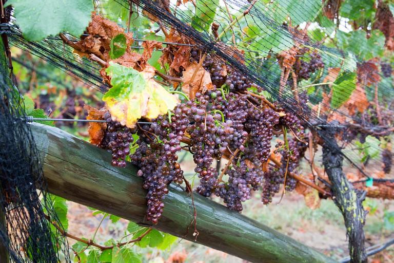 Sileni Estates Winery Grapes