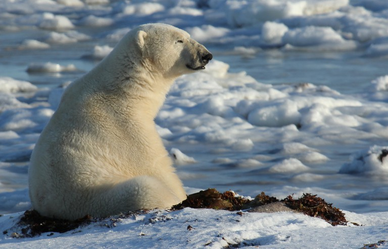 Contemplative polar bear in Churchill