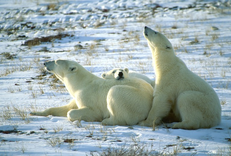 Polar bears chilling in Churchill