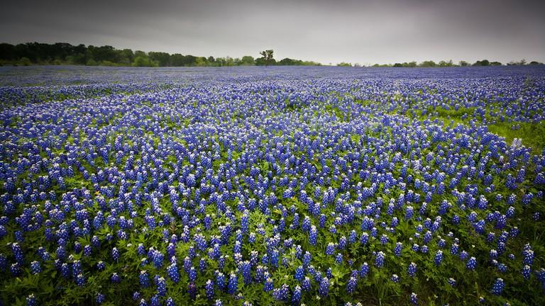 Bluebonnets near Ennis