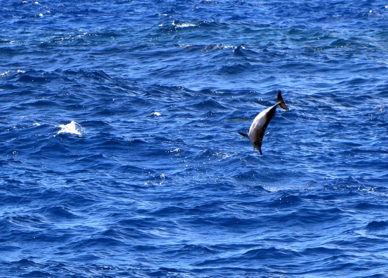 Spinner dolphin jumping out of the water
