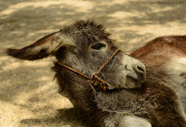 Costeños are fond of donkeys