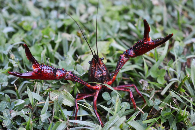 American Red Crayfish │© Andrew C / Flickr