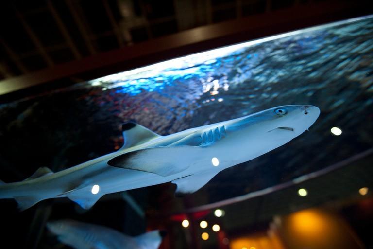 Baby Shark closeup   (c) FuFu Wolf / Flickr
